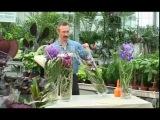 Ванда. Голубая орхидея.