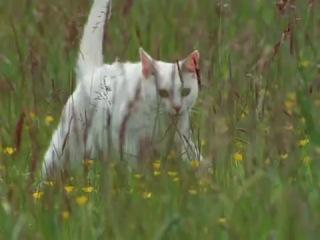 документального фильм «BBC: Загадочные кошки»:№1