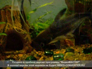 Акулий сом - Пангасиус (17-19 см)