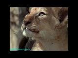 BBC «Жизнь животных: Плотоядные - Лев» (Документальный, 2000)