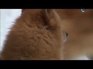 Планета собак. Карельская лайка