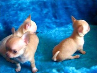 Родилось 7 щенков чихуахуа