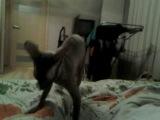 Мистер Патрик 2 . Продолжение. (Корниш рекс) прикол с котом