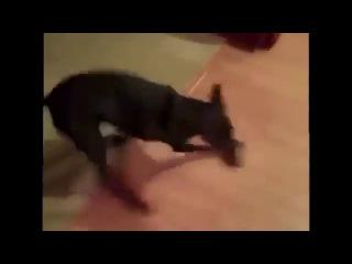 Веселый доберман - Собака собирается на дачу