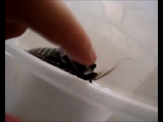 Мат мадагаскарского таракана