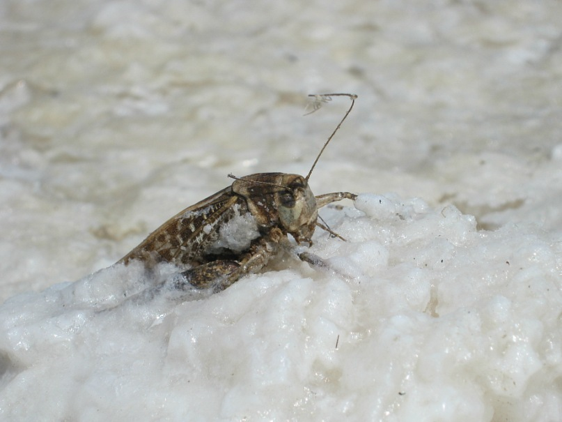 Кузнечик, закристаллизовавшийся в соли на озере Баскунчак