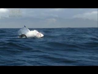Большая белая акула, сила красота и мощь созданная природой!