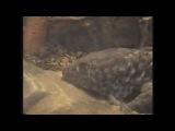 Шпорцевая лягушка альбинос и геккон токи