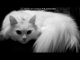 «Самая красивая порода кошек - Турецкая ангора!» под музыку Ангорка - милахи. Picrolla