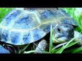 «Черепашка» под музыку Натали - Морская Черепашка По Имени Наташка. Picrolla