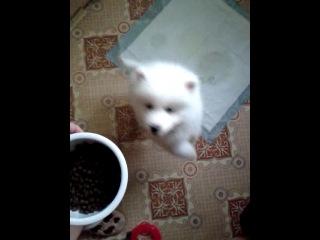 щенок самоеда просит кушать