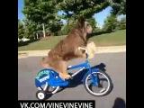 Просто собака катается на велосипеде (Vine)