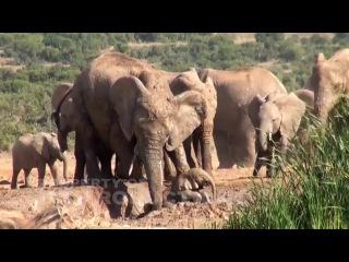 Слониха помогает слоненку