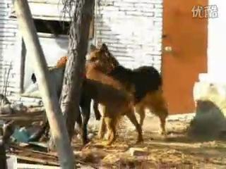 собачьи бои ротвейлер vs немецкая овчарка и питбуль за одно