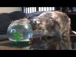 Видео учебник: как отучить кошку от домашних рыбок ))