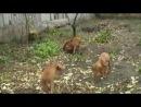 Щенки венгерской легавой