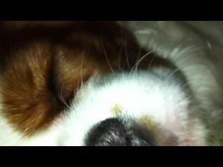 Богатырский сон моей маленькой собачки;)