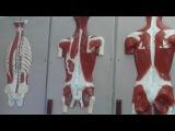 мышцы спины и шеи