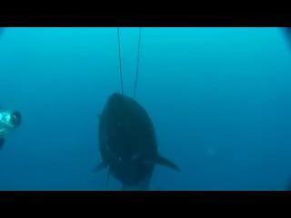 подводная охота . тунец на 282 кг.