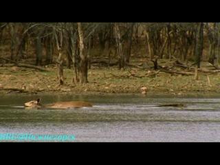 BBC Ребятам о зверятах Тигрица Тара Документальный 2005
