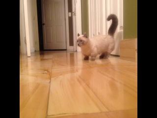 манчкин(заниженный кот)