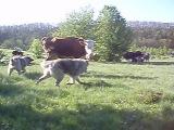 Кавказская овчарка не только охранник, но и пастух!!