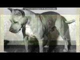 «Со стены Питбуль  Vs. бультерьера» под музыку Гапон - Мы улечные псы. Picrolla