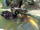 Невероятно! Лебедь кормит рыбок