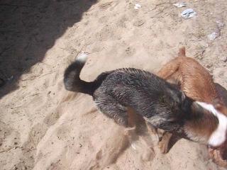 Собачьи бои дворняга VS кокер спаниель