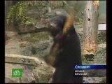 Гималайский медведь по имени Клод