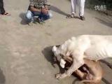 Собачьи бои гульдонг VS питбуль (тест)