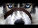«Со стены Хаски  умные  сабаки!» под музыку Нюша - Вою на луну. Picrolla
