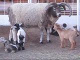 Riverside County Fair, California. Весёлые козлята. Спортивные поросята)))