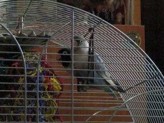Попугаи Мартин и Маргарита целуются