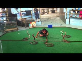 Змеиное шоу.Королевские кобры