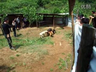 Собачьи бои аргентинский дог питбуль vs кабан