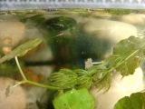 выращивание мальков тернеции