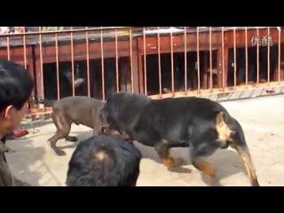 Собачьи бои ротвейлер vs питбуль