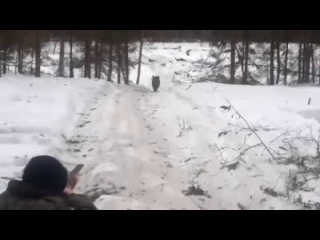 Неудачная охота на кабана
