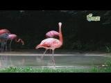 Фламинго танцует соло Майкла Джексона