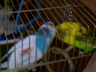 Попугаи Кеша и Даша целуются!