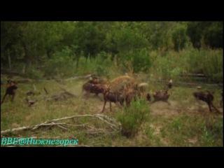 BBC «Рассказы о животных» (20 серия) (Документальный, 2008)