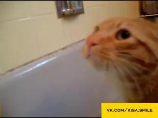 Большой кот боится воды