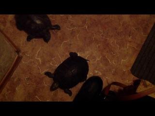 #мопс Арни знакомится с черепахами