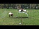 Crazy goats balancing on a flexible steel ribbon