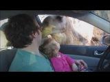 плотоядный верблюд