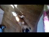 Как моя собака реагирует на игрушку которая смеётся