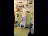 Забавная собака-танцевака == Кормушка Уникальное Фото Видео Приколы Гифки ==