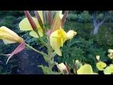 Рождение цветка(ночная фиалка)