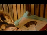 Vivanov76 25 октября 2013 г. ПИТ-БУЛЬТЕРЬЕР АМЕРИКАНСКИЙ Шеридан и ее малыши ))